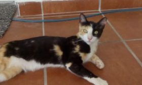 Calico Ref RC3017315 Adopted